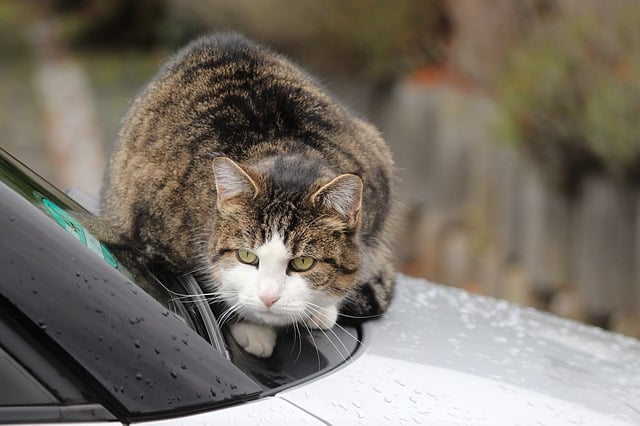 How To Keep Cats Off Cars